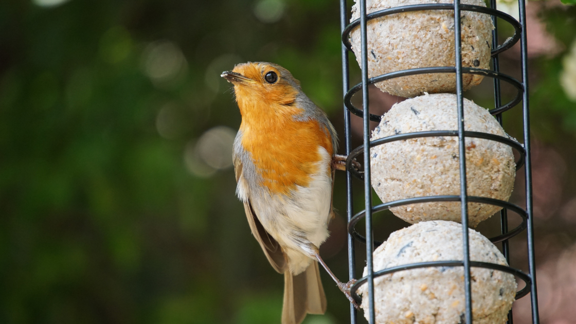 Robin perched on a bird feeder